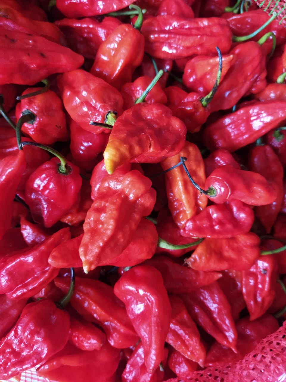 Procurement of King Chilli / Bhut Jolokia from the farmers of Upper Assam